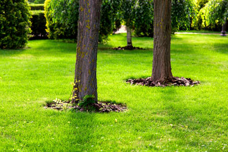 Mulching a tree bark under a tree trunk growing on a green lawn with a grass. Фото со стока