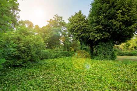 green plants in a park with green trees and a glade in ivy leaves with a sun flare on the sky, nobody in the garden. Stock Photo