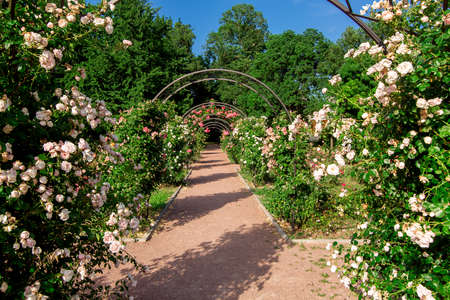 trail footpath with an arch for climbing roses with flowering, a rose garden in the botanical garden on a sunny summer day.