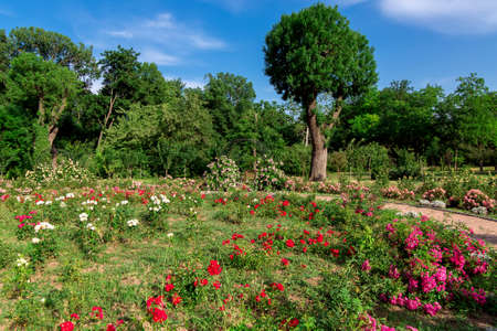 flowerbed with blooming roses in a park with deciduous trees on a sunny summer day under a blue sky.