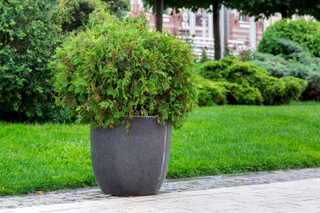 stone flowerpot with an evergreen bush on a pedestrian sidewalk made of stone tiles in a park with a green landscape, greenery background theme.