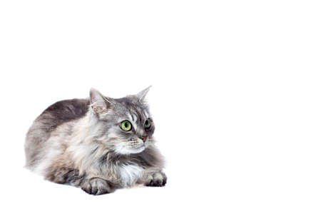 chinchilla cat fluffy striped gray lies and looking to with big eyes, feline animal isolated on a white background with a copy space.