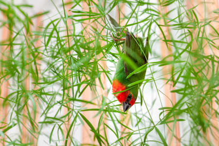 a red head parrot finch with green feathers and a red hanging upside down on a green plant with leaves, veterinary ornithological theme birdwatching.