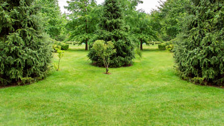 backyard  garden ladscape with a green lawn and evergreen pine trees in the park with meadow grass, nobody copy space.