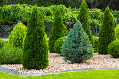 Landscaping of a backyard garden with evergreen conifers and thuja by yellow stone mulch in a summer greenery park with decorative landscape design, nobody. Standard-Bild