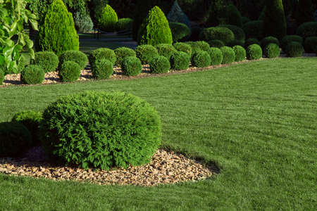clipped thuja bush with yellow stone mulching on a green mowed lawn in a park in the backyard illuminated by sunlight, green nature environment, nobody.