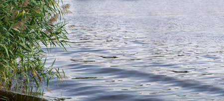 green reeds over the water surface of the river with waves close-up of the environment eco friendly background, nobody.