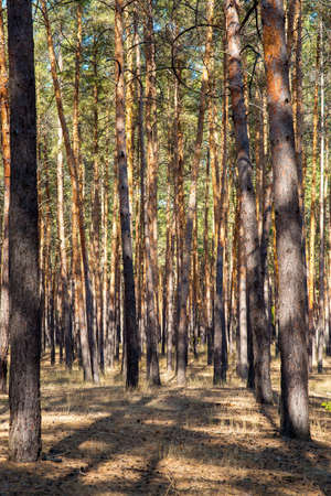 reserved pine forest with tall trunks of trees with evergreen needles on the tops and dry grass on the ground, eco friendly background on the theme of ecology of nature with sunlight, nobody.