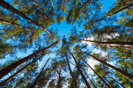 dense forest from the trunks of pine trees with green needles bottom up view on the blue sky, eco friendly nature background, nobody.