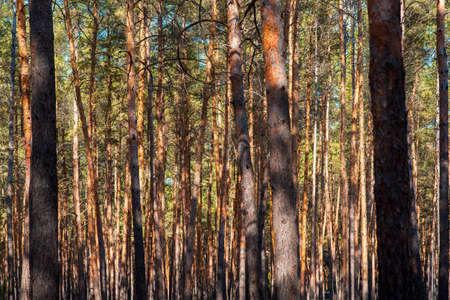 trunks of pine trees in a dense forest, texture of logs close-up.