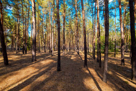reserved pine forest with tall trunks of trees with evergreen needles on the tops and dry grass on the ground, eco friendly background on the theme of ecology of nature, nobody. Stock fotó