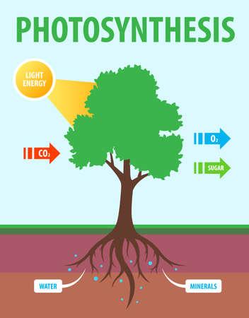 Schema der Photosynthese eines Baumes. Umwandlung von Kohlendioxid in Sauerstoff. Flache unterrichtende Vektorgrafik.