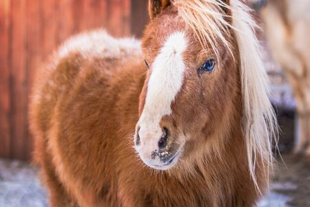 A cute baby pony horse on a snowy field outdoors by the farm