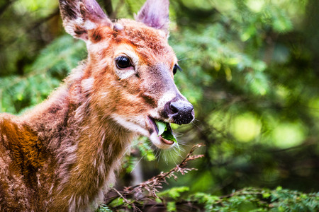 babies: A cute young deer walking in forest eating leaves with open mouth.