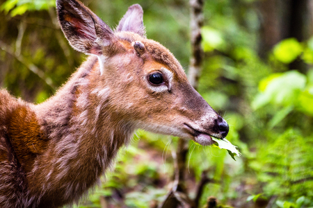 babies: A cute young deer walking in forest eating leaves.