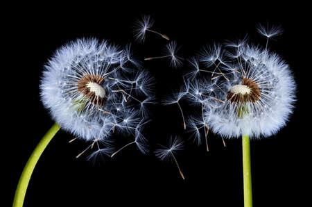 Two dandelion flying Stock Photo