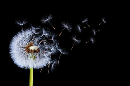 Dandelion flying on black background