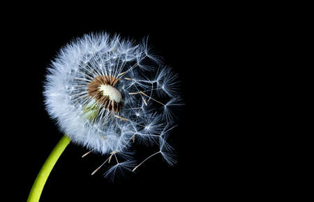 Silhouettes of dandelions on black background Stock Photo