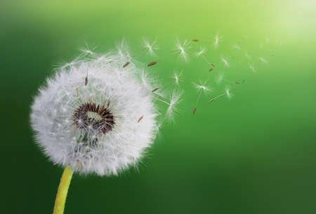 Dandelions flying