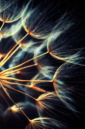 Gold dandelion