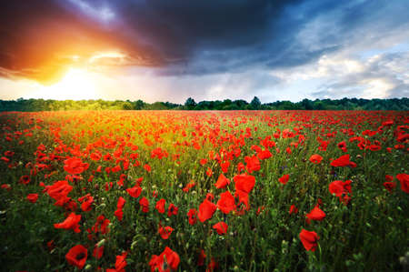 Full poppies at meadow