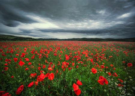 Full poppies