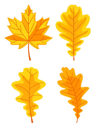 Cartoon yellow oak leaf set. Autumn colorful foliage decor. Fall themed vector illustration for icon, logo, poster, postcard or invitation card decoration 矢量图像