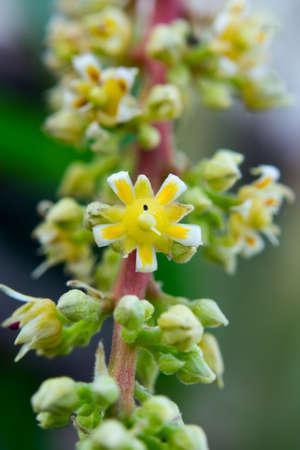 Summer mango pollination Фото со стока - 101628751