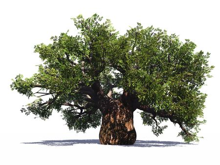 Huge baobab tree isolated Archivio Fotografico