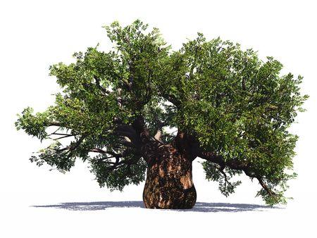 Huge baobab tree isolated photo