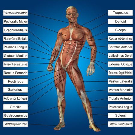 tensor: 3D human male anatomy with muscles and text on blue background