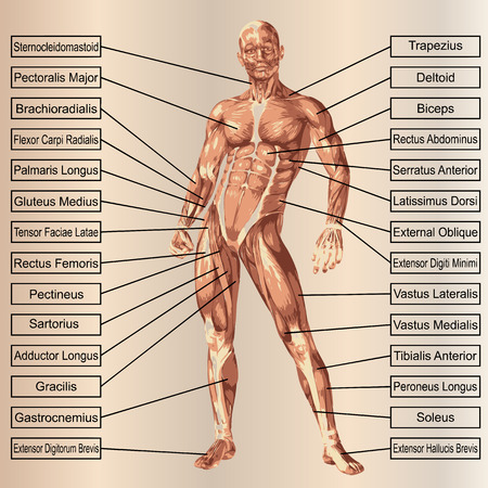 deltoid: 3D human male anatomy with muscles and text on beige background