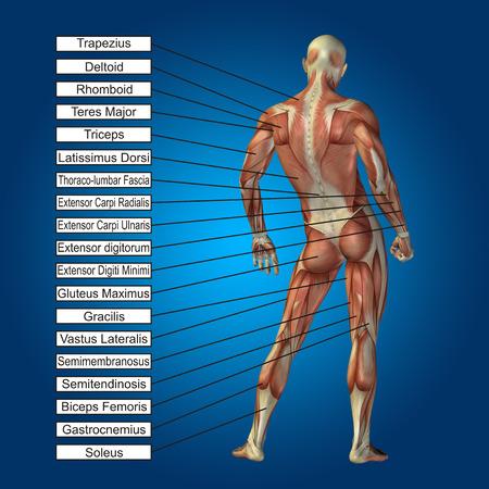 3D Menschliche Männliche Anatomie Mit Muskeln Und Textfeld Auf ...