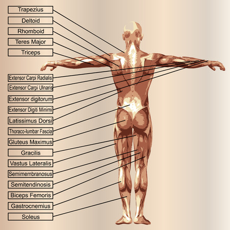 3D human male anatomy with muscles and text on beige background Banco de Imagens - 34290763