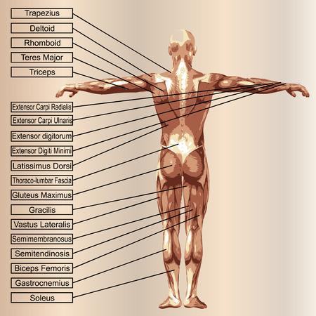 3D menselijke mannelijke anatomie met spieren en tekst op beige achtergrond Stockfoto