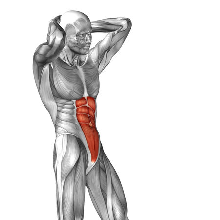 deltoid: Conceptual 3D chest anatomy muscle isolated on white background Stock Photo