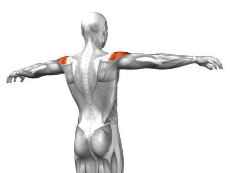 Conceptual 3D back anatomy muscle isolated on white background photo