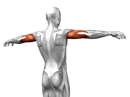upper arm: Conceptual 3D triceps anatomy muscle isolated on white background Stock Photo