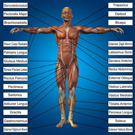 trapezius: 3D anatom�a masculina humana con los m�sculos y el texto sobre fondo azul