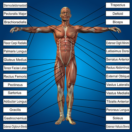 musculature: 3D human male anatomy with muscles and text on blue background