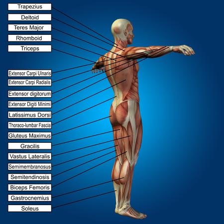 3D Menschlichen Männlichen Anatomie Mit Muskeln Und Text Auf Blauem ...