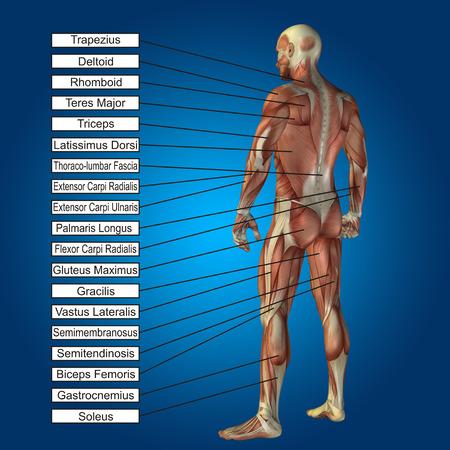 3 D の人間男性の解剖学の筋肉と青い背景上のテキスト