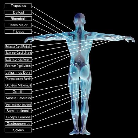 筋肉とテキストが黒の背景に分離された 3 D の人間男性の解剖学