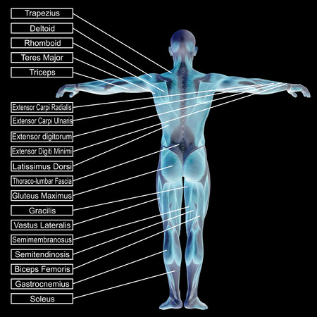3D human male anatomy with muscles and text isolated on black background