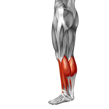 achilles tendon: Conceptual 3D human front lower leg muscle anatomy isolated on white background