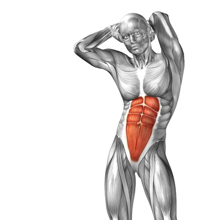 Conceptual 3D chest anatomy muscle isolated on white background photo