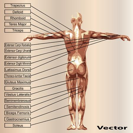 3 D の人間男性の解剖学の筋肉とベージュ色の背景上のテキスト 写真素材 - 36844064