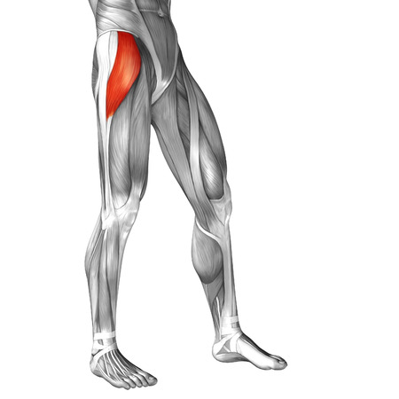 leg muscle: Conceptual 3D human front upper leg muscle anatomy isolated on white background
