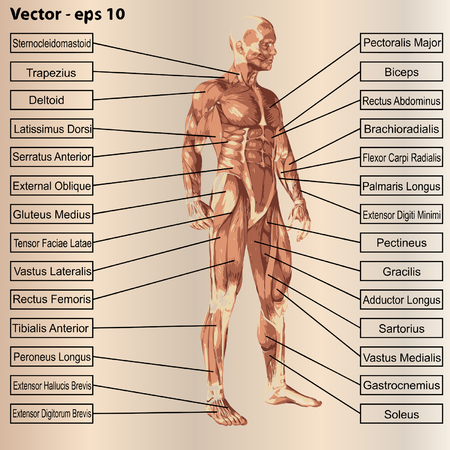 tensor: 3D human male anatomy with muscles and text on beige background