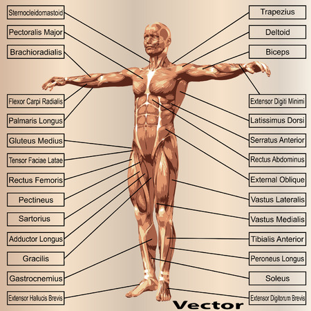 Human Muscles Anatomy Male Body Muscles All Kinds Of Muscles